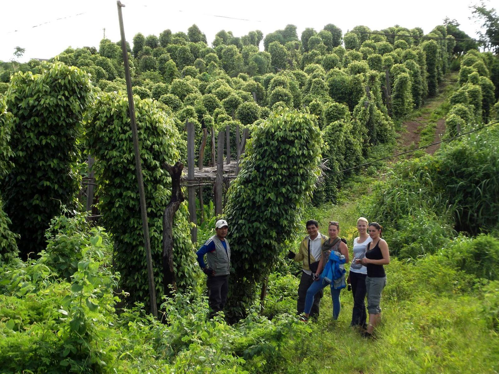Black-pepper-plantation