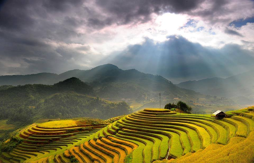 Mu Cang Chai terrace rice field in the Harvest time